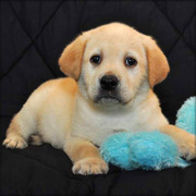 Charming Labrador retriever puppies for re homing