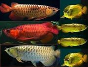 Top Quality Arowana Fish Of All Breed And Sizes Available For Sale