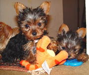 House Broken Tea Cup Yorkie Puppies for Adoption